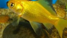Altın Balık İlkesi